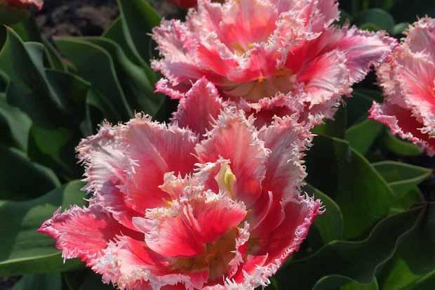 как выкопать тюльпаны