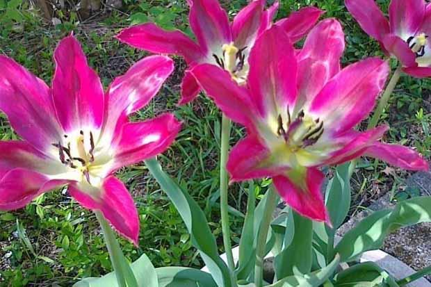 отцвели тюльпаны