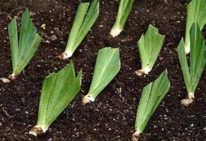 Как посадить ирис в саду весной