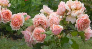 Тля на розах как бороться народными средствами