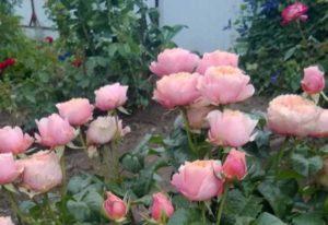 опрыскать розу от тли