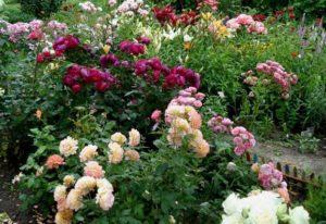 тля на розах чем лучше обработать