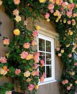 плетущиеся розы возле дома