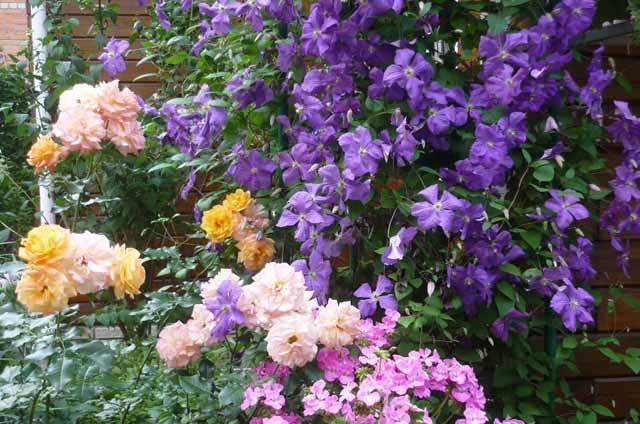 розы в саду вредители