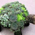 очиток и молодило всадовой композиции из цветов Черепаха