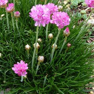 цветы для розового цветника
