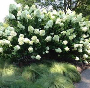 цветущие белые кусты как элемент оформления сада