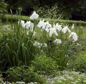 белые ирисы в саду