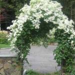 арка из белых цветов в саду