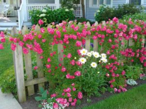 фото заборов с цветами
