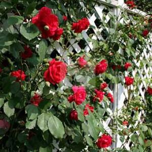 фото заборов с розами