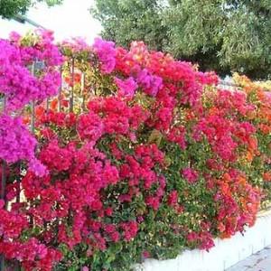 фото заборов в цветах