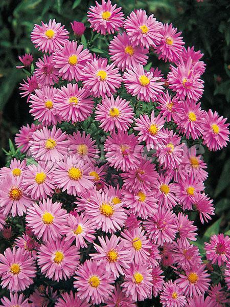 Цветет очень долго и обильно если вы