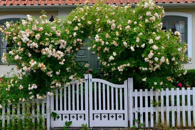 Дачный участок розы