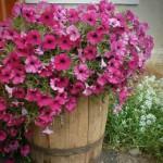 дачный участок цветник с петуниями