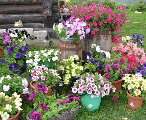 Цветы на дачном участке-фото