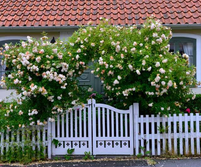 плетистая роза правильный уход