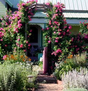 плетистые розы около дома фото