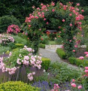 плетистая роза фото