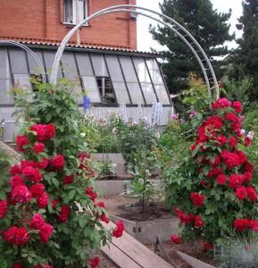 плетистые розы уход и опоры
