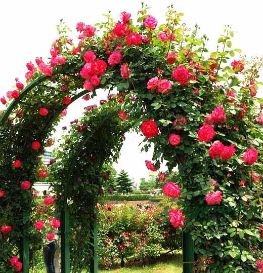 как вырастить красивые розы в саду