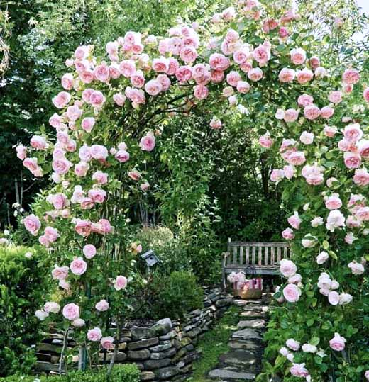 как правильно сформировать куст плетистой розы