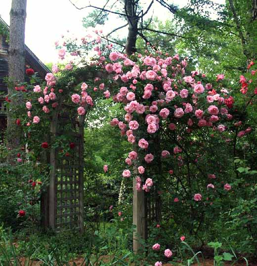 ошибки при выращивании плетистой розы