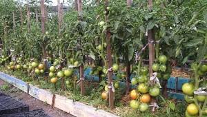 красивые помидорные грядки