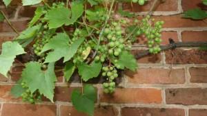 как сделать виноград на стене