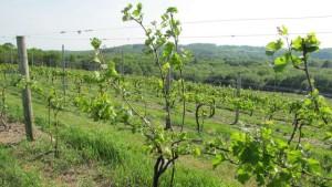 как сделать шпалеры для винограда