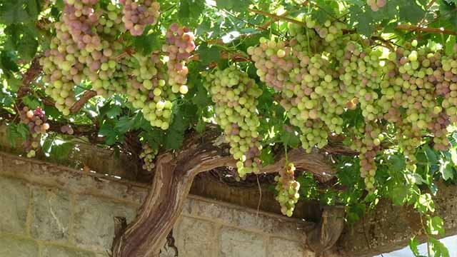 Шпалеры для винограда