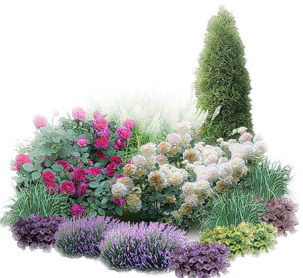 Какие цветы посадить рядом с туей